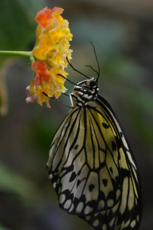 Rice Paper Butterfly on a Latana Flower.JPG