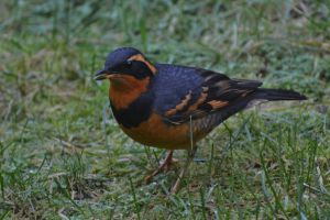 Black and Orange Thrush.JPG