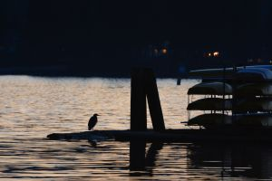 Heron at Sunset.JPG