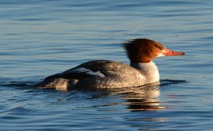 A Drake Common Merganser .JPG