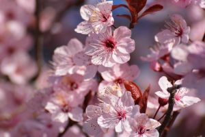 Flowering Cherry Trees in Spring