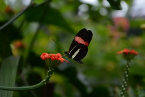 Red and Black (Sara) Longwing Butterfly.JPG