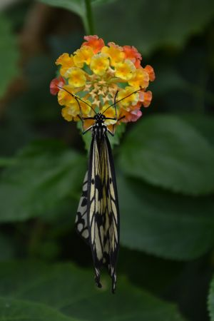 Rice Paper Butterfly on Latana Flower (2).JPG